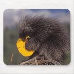 common porcupine, Erethizon dorsatum, baby Mouse Mat