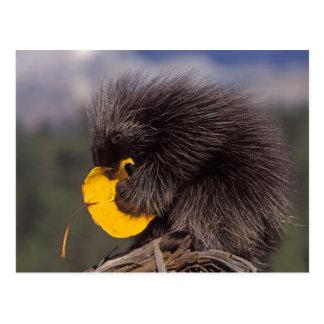 common porcupine, Erethizon dorsatum, baby Postcard