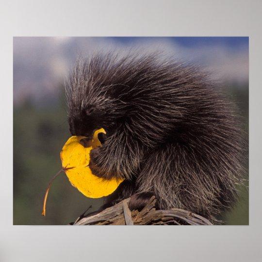 common porcupine, Erethizon dorsatum, baby Poster