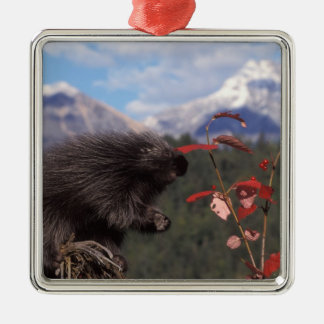 Common porcupine feeding on high brush cranberry christmas ornament