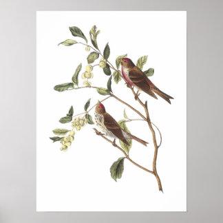 Common Redpoll by Audubon Poster