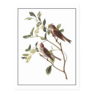 Common Redpoll Postcard