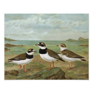 Common Ringed Plover Vintage Bird Illustration Poster