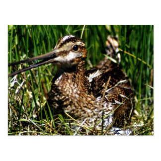 Common Snipe Postcard