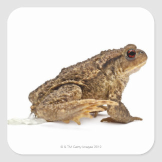 Common toad or European toad (Bufo bufo) pissing Sticker