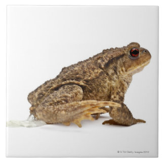 Common toad or European toad (Bufo bufo) pissing Tile