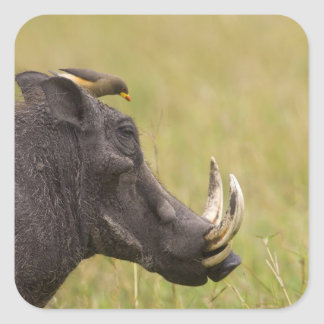 Common Warthog Phacochoerus africanus) with Square Sticker