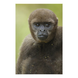Common Woolly Monkey Lagothris lagothricha), Photo Print