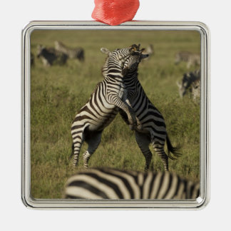 Common Zebra dominance behavior Christmas Ornament