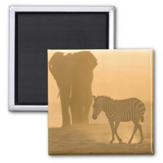 Common Zebra, Equus burchelli, and Elephant, Square Magnet