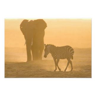 Common Zebra, Equus burchelli, and Elephant, Photo Print
