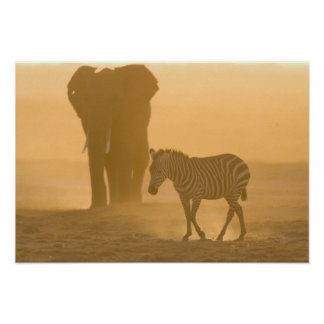 Common Zebra, Equus burchelli, and Elephant, Poster