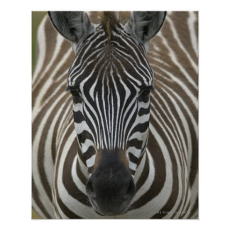 Common Zebra (Equus quagga), close up Poster