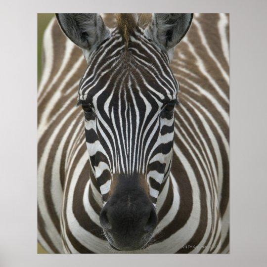 Common Zebra (Equus quagga), close up Poster