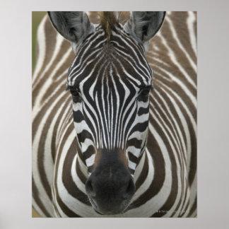 Common Zebra Equus quagga close up Print