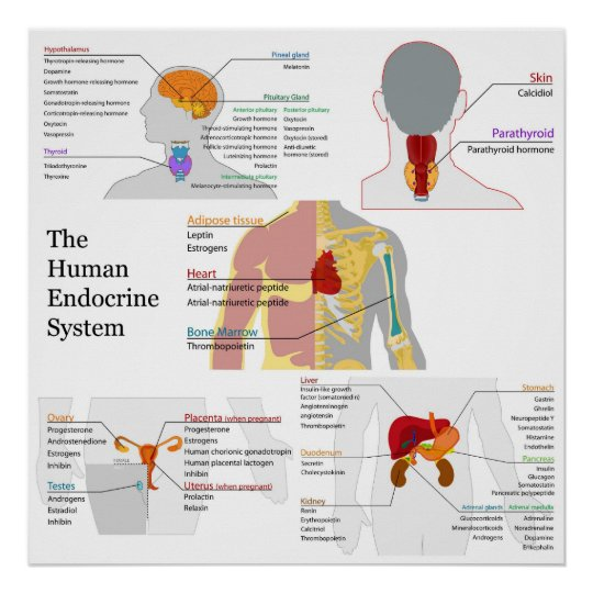 Complete Diagram of the Human Endocrine System Poster