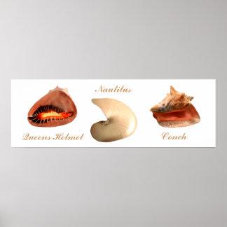 Conch, Nautilus, Queens Helmet Posters