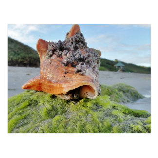Conch Shell on the Beach Postcard