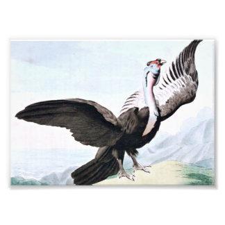 Condor Bird Wildlife Illustration Photo
