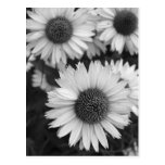 Cone Flowers - Daisy - In Black and White Postcard