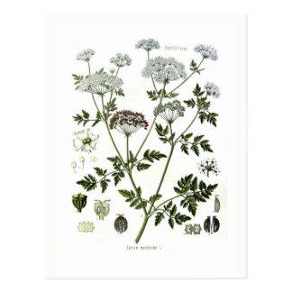 Conium maculatum (Hemlock) Post Card