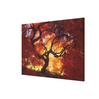 Connecticut: Darien, Japanese maple 'Acer Canvas Print