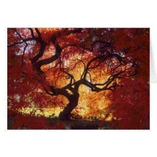 Connecticut: Darien, Japanese maple 'Acer Card