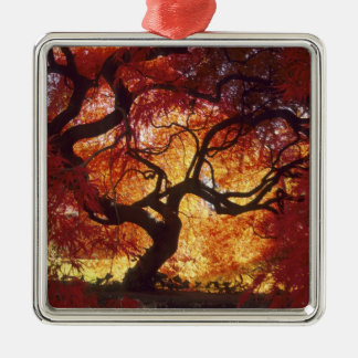 Connecticut: Darien, Japanese maple 'Acer Ornament