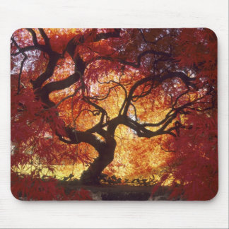 Connecticut: Darien, Japanese maple 'Acer Mouse Mat