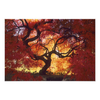 Connecticut: Darien, Japanese maple 'Acer Photographic Print