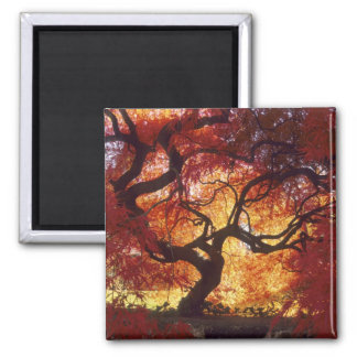 Connecticut: Darien, Japanese maple 'Acer Square Magnet