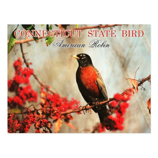 Connecticut State Bird - American Robin Postcard