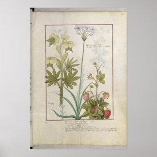 Consiligo, Burreed and Strawberry Poster