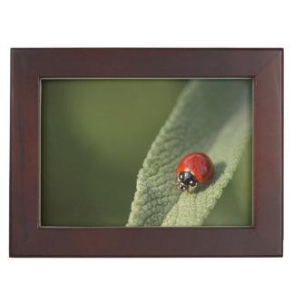 Convergent ladybird beetle on Cleveland sage Keepsake Box