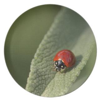 Convergent ladybird beetle on Cleveland sage Plate