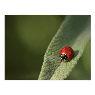 Convergent ladybird beetle on Cleveland sage Postcard