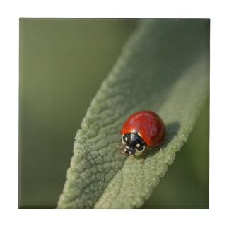 Convergent ladybird beetle on Cleveland sage Small Square Tile