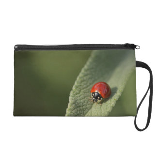 Convergent ladybird beetle on Cleveland sage Wristlet