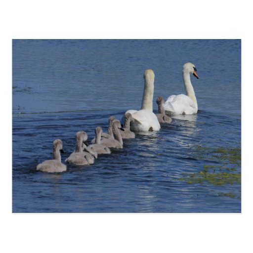 Convoy of Swans