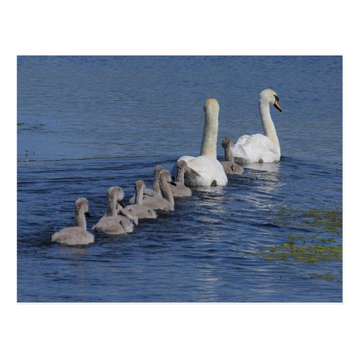 Convoy of Swans Postcard