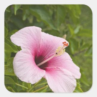 Cook Islands, Atiu. Hibiscus flower. Square Sticker