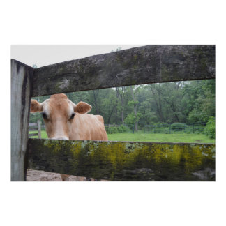 Cookie Cow Peeking Through Fence Poster