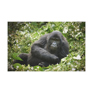 cool young mountain gorilla canvas print