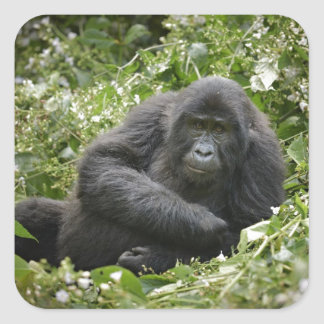 cool young mountain gorilla square sticker