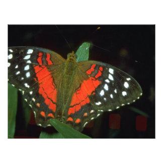 Coolie butterfly, Anartia amathea, South America 21.5 Cm X 28 Cm Flyer