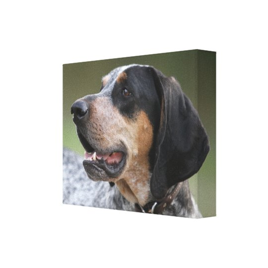 Coonhound Canvas Print