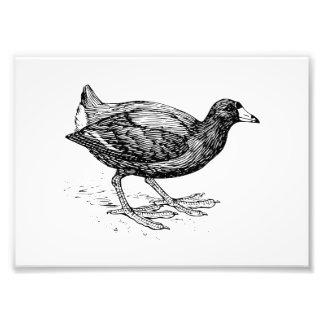 Coot Bird Illustration Art Photo