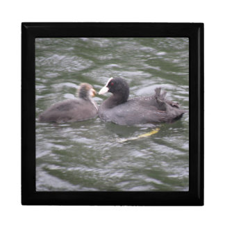 Coot Feeding Hungry Chick Gift Box