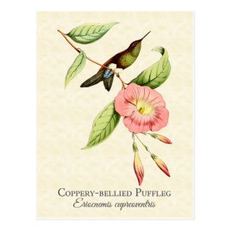 Coppery Bellied Puffleg Hummingbird Art Postcard