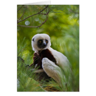 Coquerel's Sifaka in the forest 2 Card